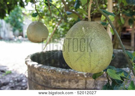 Pomelo Orchards