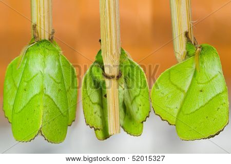 Three side of male green Trabala pallida moth