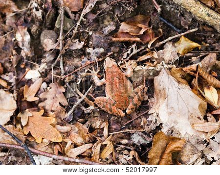 Common Frog In Autumn Litter