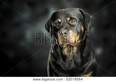 rottweiler on dark