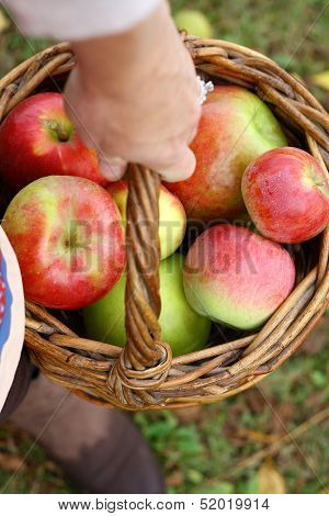 Woman's Hand Carrying Basket Of Fresh Picked Apples