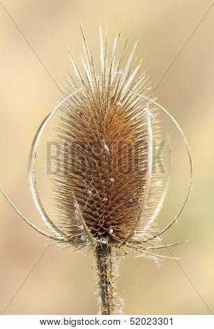 Single Orange Thistle Flower