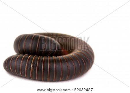 Coiled American Millipede