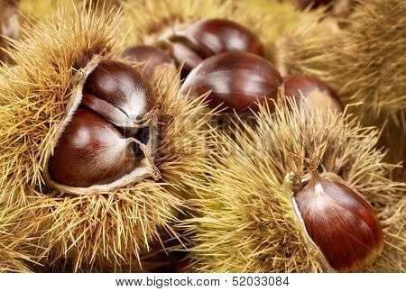Fresh Shiny Chestnuts In Husks
