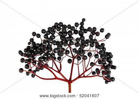Black Elderberry isolated on white background