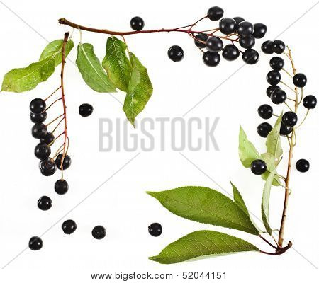 border frame of bird cherry branch with black berries isolated on a white background