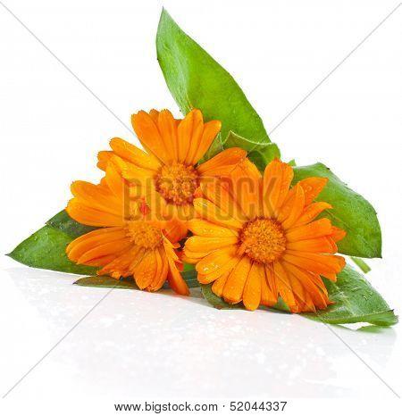 orange flower bouquet of calendula close up macro Isolated on white background