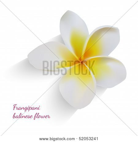 Balinese flower frangipani on isolated white background