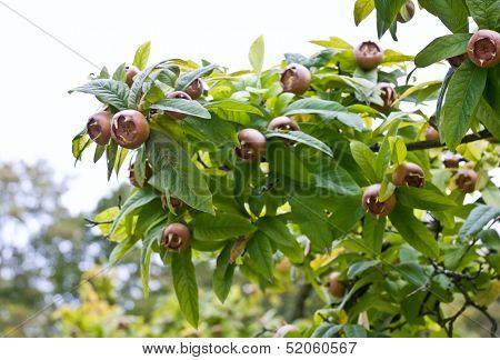 Common Medlar Tree