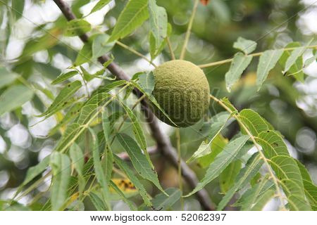 Black walnut in tree