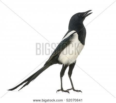 Common Magpie chattering, upright, Pica pica, isolated on white