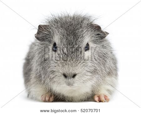 Swiss Teddy Guinea Pig facing, looking at the camera, isolated on white