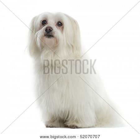 Maltese sitting, looking up, isolated on white