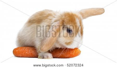 Satin Mini Lop rabbit eating a carrot, lying on it, isolated on white