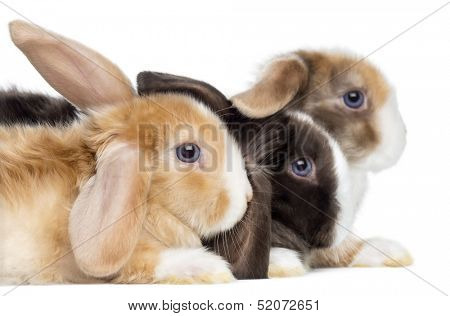 Close-up of Satin Mini Lop rabbits's profile, isolated on white