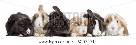 Satin Mini Lop rabbits in a row, isolated on white
