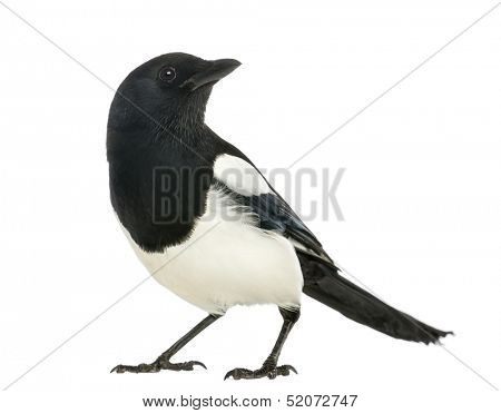Common Magpie looking up, Pica pica, isolated on white