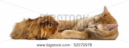 Cat and Peruvian Guinea Pig, isolated on white