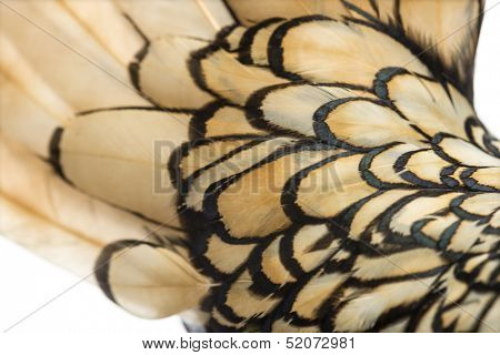 Macro of a Sebright bantam rooster's feather
