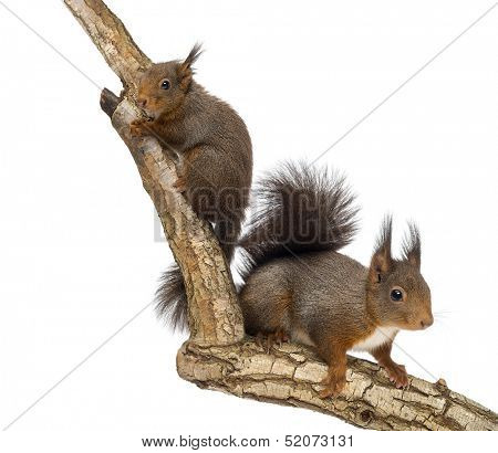 Two Red squirrels climbing on a branch, isolated on white