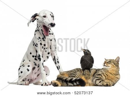 Cat and Jackdaw looking at a Dalmatian yawning, isolated on white