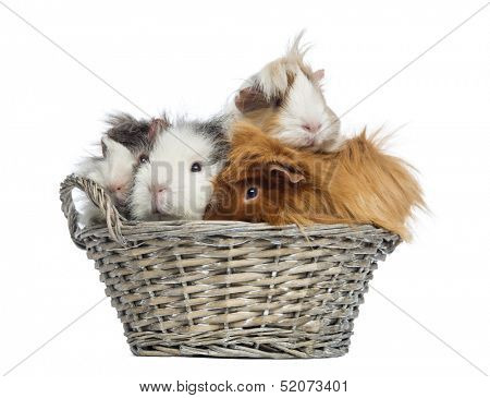 Guinea Pigs piled up in a wicker basket, isolated on white