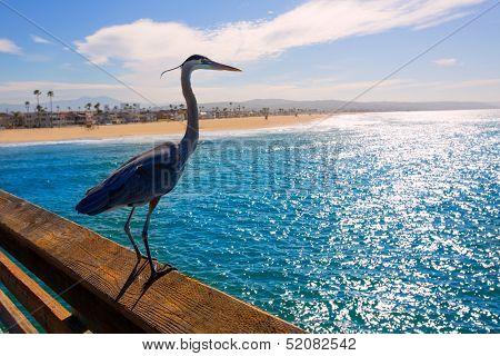 Great blue Heron Ardea cinerea in Newport pier California USA