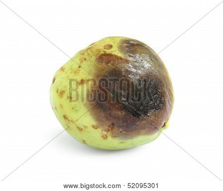 Rotten Guava Fruit