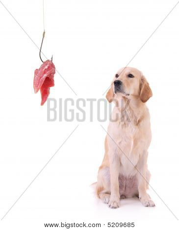 Labrador Retriever And A Fishing Hook With Meat
