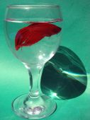 pic of fighter-fish  - Cockerel or fighter fish Betta splendens in glass with water - JPG