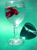 stock photo of fighter-fish  - Cockerel or fighter fish Betta splendens in glass with water - JPG