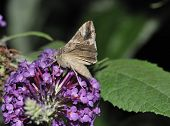 stock photo of gamma  - Silver Y Moth - Autographa gamma