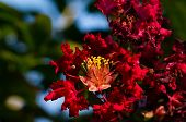 image of crepe myrtle  - Beautiful red crepe myrtle under sunny daylight - JPG
