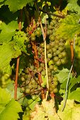 picture of penticton  - kept pace with grapes on the vine in Siberia - JPG