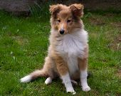stock photo of sheltie  - Shetland sheepdog sitting on the green grass - JPG