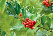 Holly Tree Branch