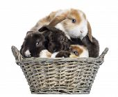 Group of Satin Mini Lop rabbits piled up in a wicker basket, isolated on white