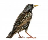 Rear view of a Common Starling, Sturnus vulgaris, isolated on white