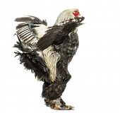 foto of brahma  - Side view of a Brahma Rooster flapping its wings - JPG