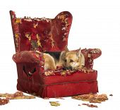 picture of german-sheperd  - German Sheperd looking dipressed on a destroyed armchair - JPG