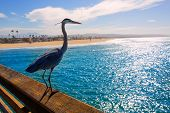 stock photo of bird fence  - Great blue Heron Ardea cinerea in Newport pier California USA - JPG