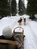 pic of sled dog  - Husky dog team pulling a sled in the snow in Lapland - JPG