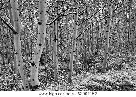 Aspen Trees, Snow