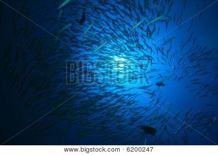 Shoal of Yellowtail Barracudas
