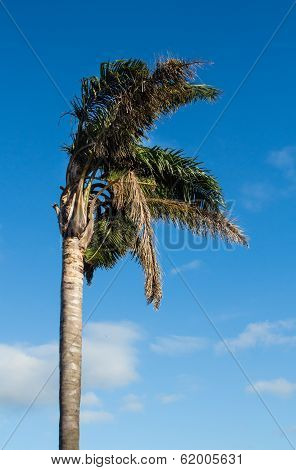 Storm Blown Palm Tree