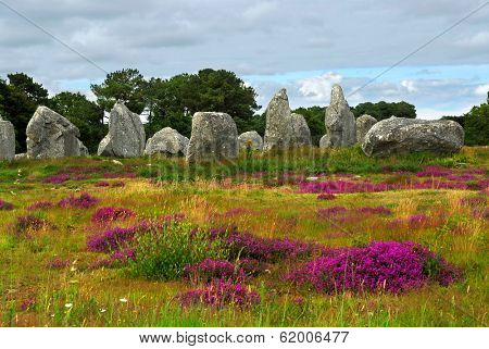 Heather blooming among prehistoric megalithic monuments menhirs in Carnac area in Brittany, France