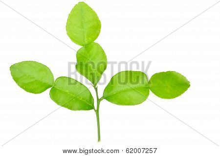 leech lime leaf