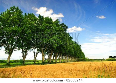 Landscape with a country road lined with sycamore trees in southern France