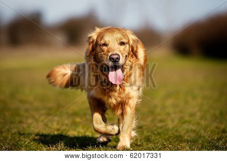 Purebred Dog Running Towards Camera