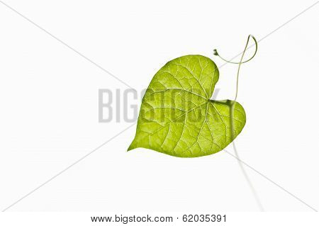 heart shaped leaf of Ipomoea nil